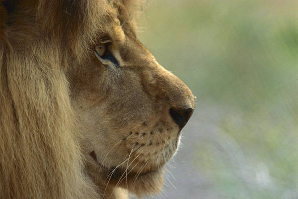 Photograph - African Lion Panthera Leo Male Portrait by Zssd