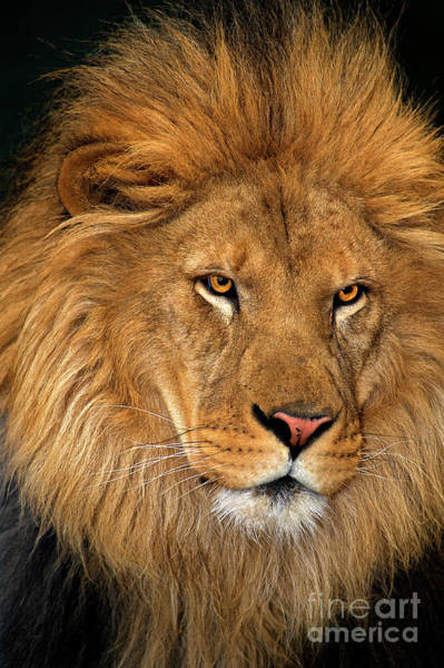 Photograph - African Lion Panthera Leo Wildlife Rescue by Dave Welling