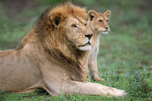 Wall Art - Photograph - African Lion Panthera Leo With Its Cub by Panoramic Images
