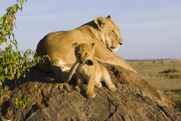 Photograph - African Lion With Mother's Tail by Suzi Eszterhas