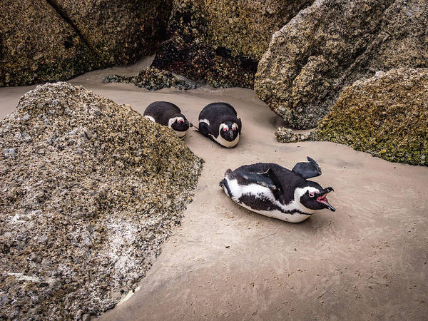 Wall Art - Photograph - African Penguins At Boulders Beach by Mike Walker