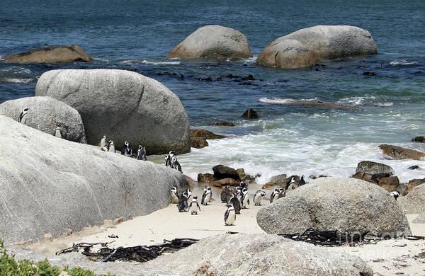 Photograph - African Penguins On Boulders Beach by PJ Boylan