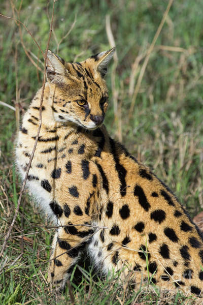 Photograph - African Serval In Ngorongoro Conservation Area by RicardMN Photography