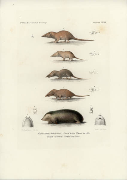 Drawing - African Shrews by J D L Franz Wagner