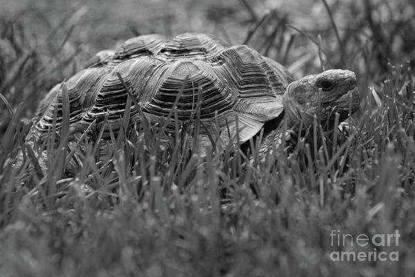Photograph - African Spurred Tortoise Black And White by Karen Adams