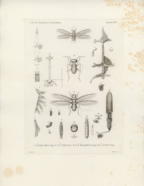 Art Print featuring the drawing African Termites And Their Anatomy by W Wagenschieber