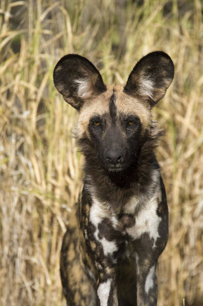 Art Print featuring the photograph African Wild Dog Okavango Delta Botswana by Suzi Eszterhas