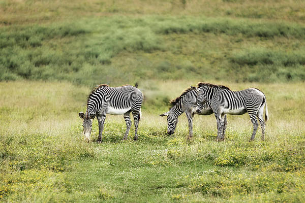 Wall Art - Photograph - African Zebras by Tom Mc Nemar