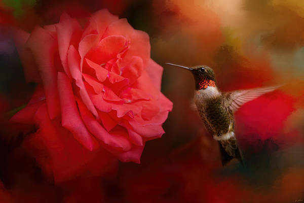Humming Bird Wall Art - Photograph - After The Big Rose by Jai Johnson
