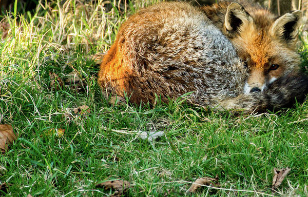 Photograph - Afternoon Nap  by Cliff Norton