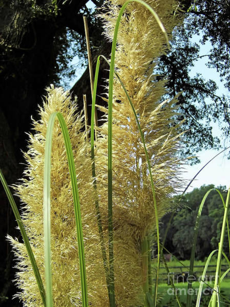 Photograph - Afternoon Pampas Blossom by D Hackett