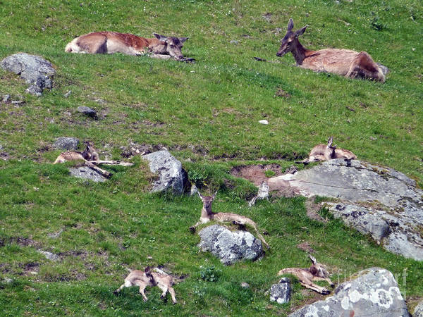 Photograph - Afternoon Siesta - Red Deer Hinds And Calves by Phil Banks