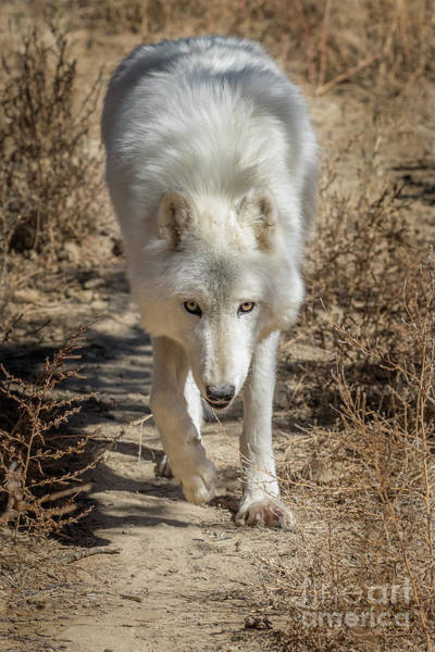 Arctic Wolves Photograph - Afternoon Stroll by Jeremy Dufault