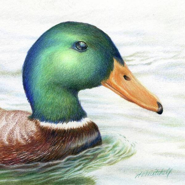 Duck Hunting Drawing - Afternoon Swim by Heather Mitchell