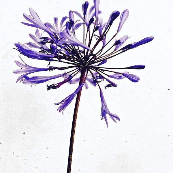 Flower Wall Art - Photograph - Agapanthus 2 by Julie Gebhardt