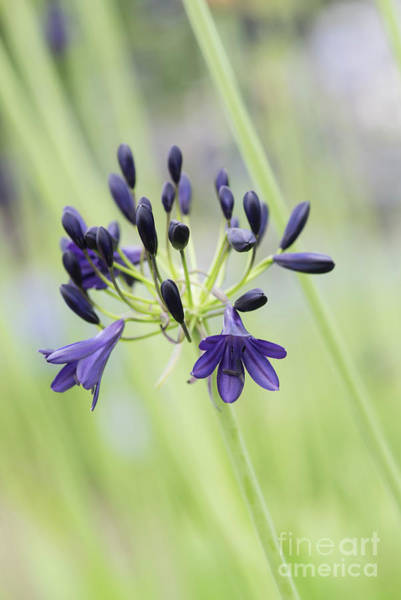 Agapanthus Photograph - Agapanthus Alan Street Flower by Tim Gainey