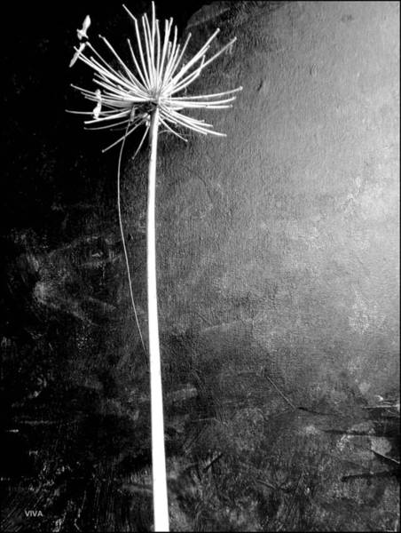 Photograph - Agapanthus Black - White Photo by VIVA Anderson