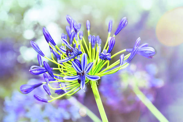 Photograph - Agapanthus Bokeh Delight by Kay Brewer