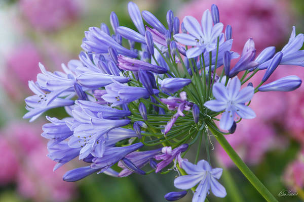 Photograph - Agapanthus by Diana Haronis