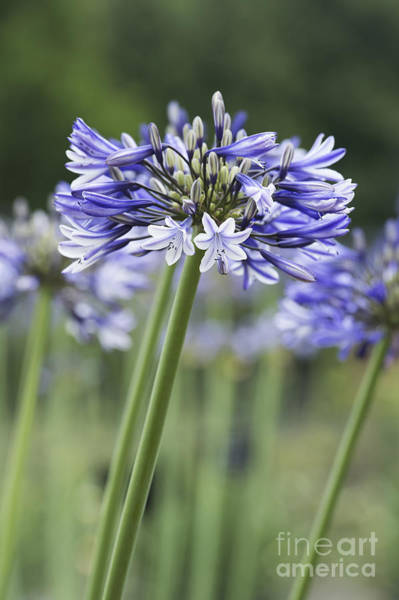 Agapanthus Photograph - Agapanthus Multicolour by Tim Gainey