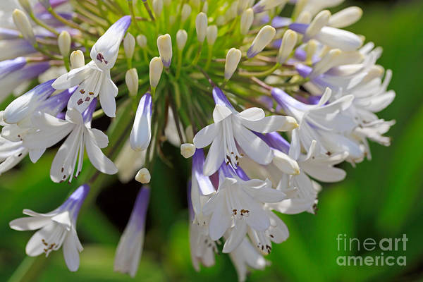 Wall Art - Photograph - Agapanthus Queen Mum by Louise Heusinkveld