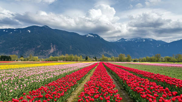 Photograph - Agassiz Tulip Fields by Pierre Leclerc Photography