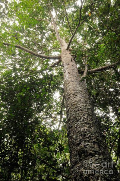 Wall Art - Photograph - Agathis Borneensis Tree by Fletcher & Baylis