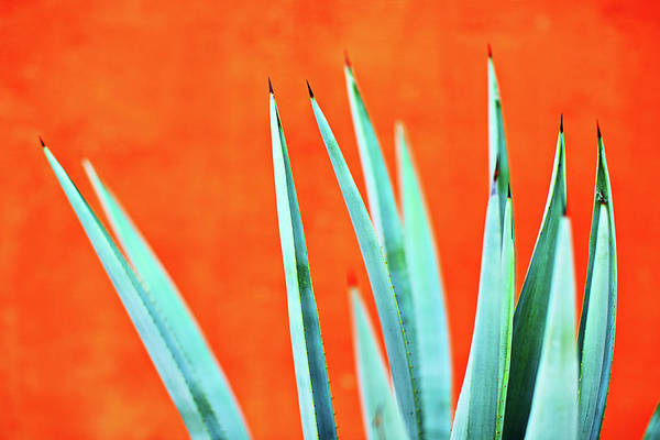 Photograph - Agave 2 by Nik West