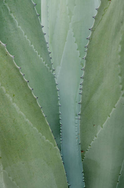 Agave Abstract. Art Print