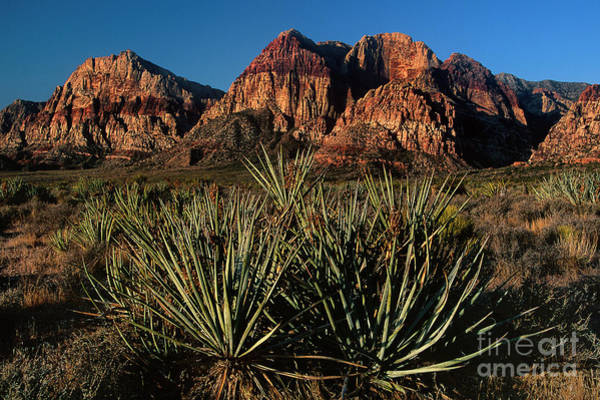 Photograph - Agave Below Wilson Cliffs Red Rock Canyon National Conservation Area Nevada by Dave Welling