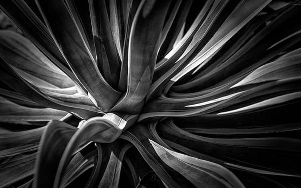 Photograph - Agave Burst by Lynn Palmer