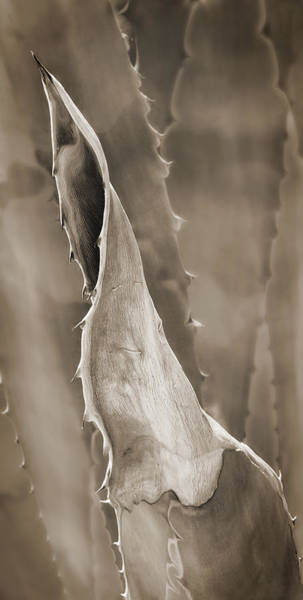 Photograph - Agave Cactus by Bob Coates