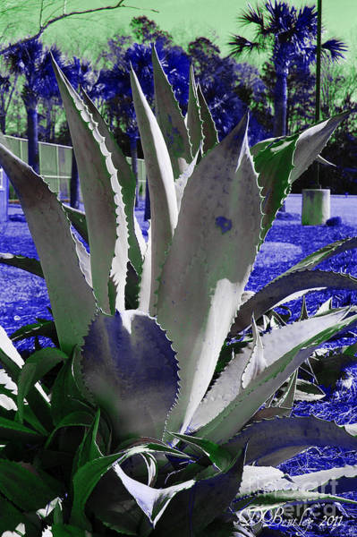 Photograph - Agave Cactus by Donna Bentley