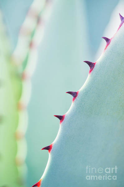 Succulent Wall Art - Photograph - Agave Parryi Abstract by Tim Gainey
