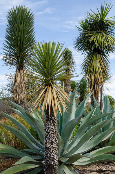 Photograph - Agaves And Yucca. by Rob Huntley