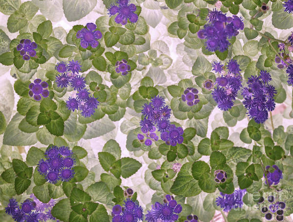 Photograph - Ageratum by Ann Jacobson