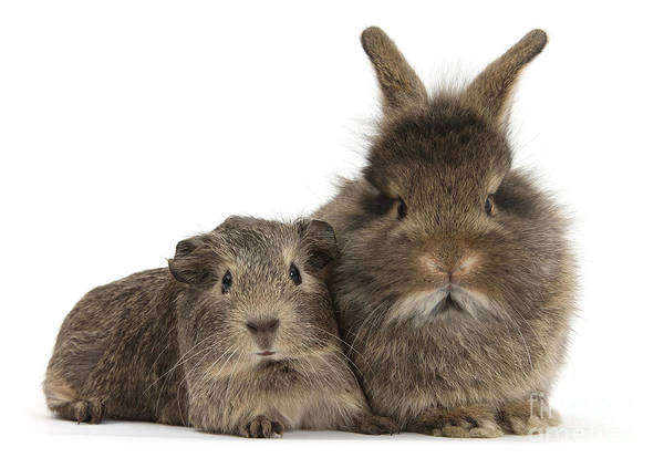 Photograph - Agouti Guinea And Bunny by Warren Photographic