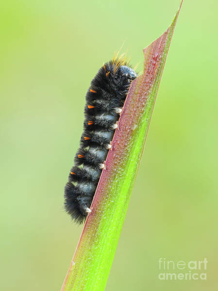 Photograph - Agreeable Tiger Moth Caterpillar I by Clarence Holmes