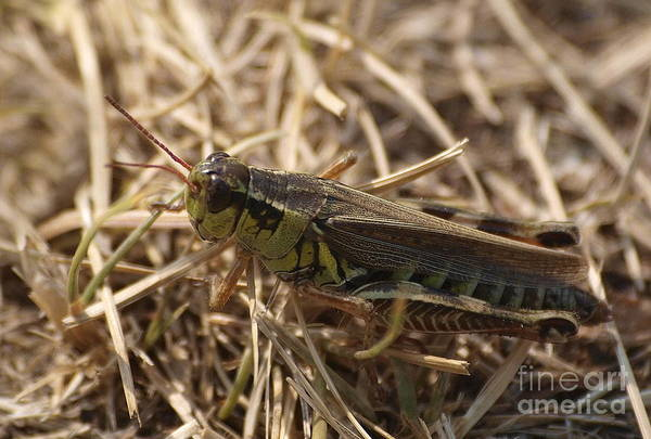 Photograph - Ahh Grasshopper by Vivian Martin