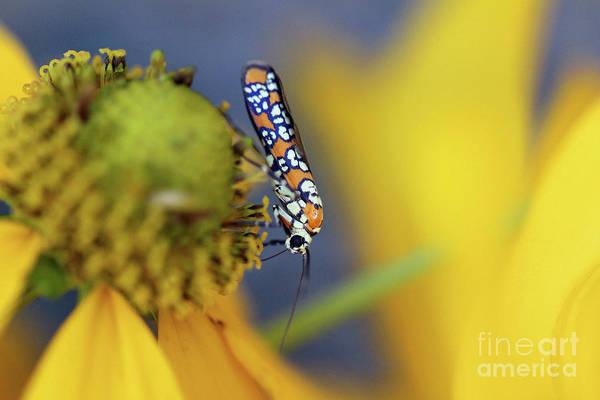 Photograph - Ailanthus Webworm Moth #4 by Karen Adams