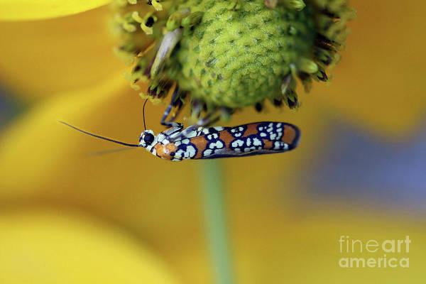 Photograph - Ailanthus Webworm Moth #6 by Karen Adams