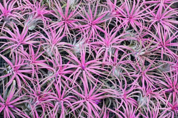 Bromeliad Photograph - Airplants by Tim Gainey