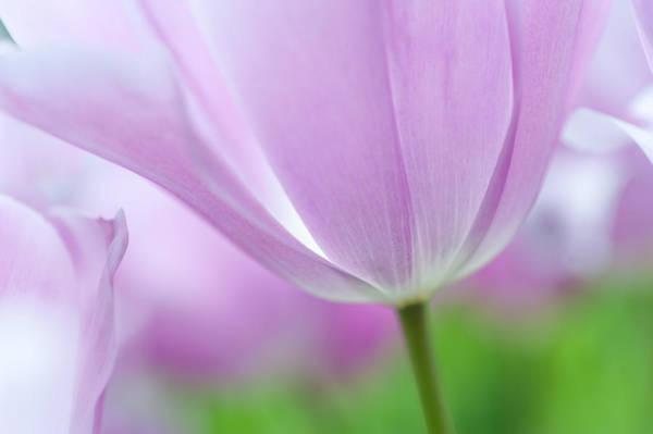 Dutch Tulip Photograph - Airy Purple. Tulips Of Keukenhof by Jenny Rainbow