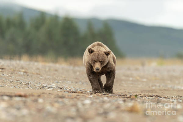 Photograph - Alaska Brown Bear Cub by Thomas Major