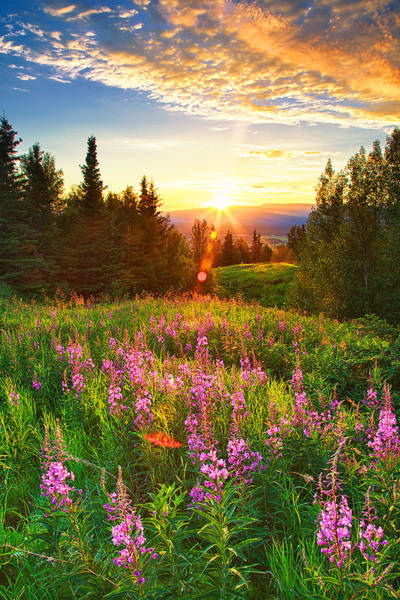 Fireweed Photograph - Alaska Field by Ed Boudreau