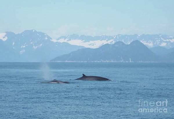 Photograph - Alaska Finback Whales by Barbara Von Pagel