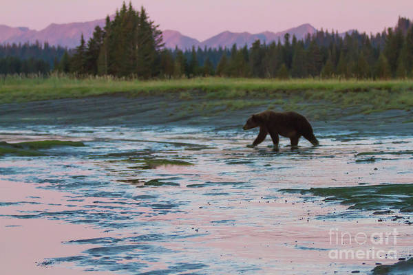 Photograph - Alaska Sunrise Bear  by Chris Scroggins