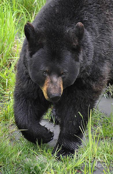 Wall Art - Photograph - Alaskan Black Bear by Diane E Berry
