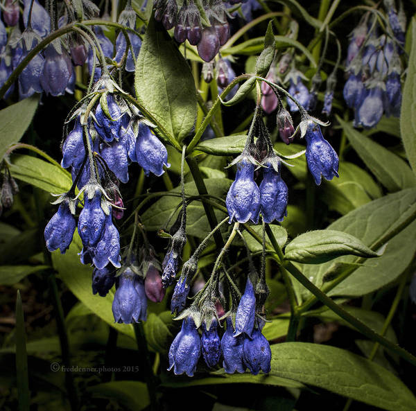 Photograph - Alaskan Bluebell by Fred Denner