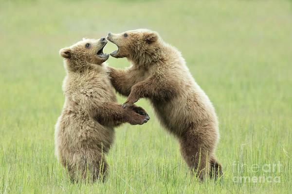 Dancing Bears Photograph - Alaskan Brown Bear Cubs Playing by Linda D Lester